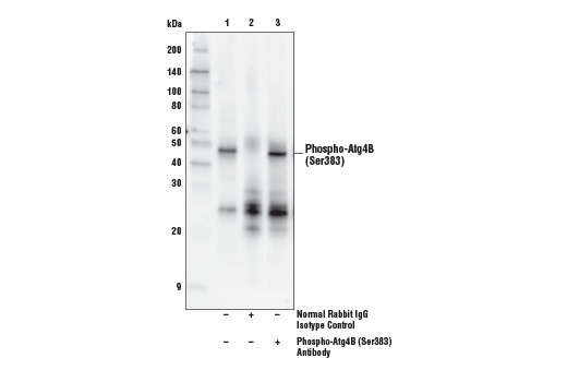 Immunoprecipitation of Phospho-Atg4B (Ser383) from K-562 cell extracts. Lane 1 is 10% input, lane 2 is Normal Rabbit IgG #2729, and lane 3 is Phospho-Atg4B (Ser383) Antibody. Western blot analysis was performed using Phospho-Atg4B (Ser383) Antibody. Mouse anti-Rabbit IgG (Conformation Specific) (L27A9) mAb (HRP Conjugate) #5127 was used as a secondary antibody.