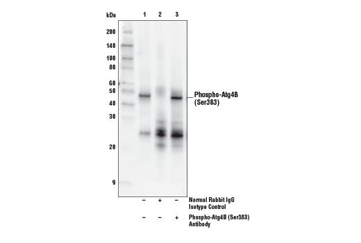 Polyclonal Antibody Western Blotting Positive Regulation of Autophagy