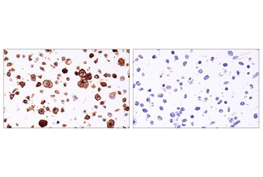 Immunohistochemical analysis of paraffin-embedded HDLM-2 cell pellet (left, positive) or 293T cell pellet (right, negative) using 4-1BB/CD137/TNFRSF9 (E6Z7F) XP<sup>®</sup> Rabbit mAb.