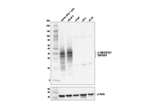 Monoclonal Antibody Immunohistochemistry Paraffin tnfrsf9