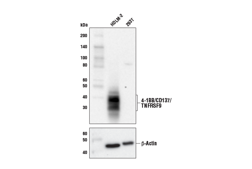 Western blot analysis of extracts from HDLM-2 and 293T cells using 4-1BB/CD137/TNFRSF9 (E6Z7F) XP<sup>®</sup> Rabbit mAb (upper) and β-Actin (D6A8) Rabbit mAb #8457 (lower).