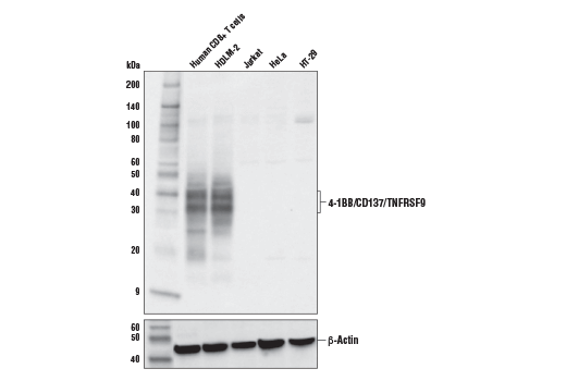 Western Blotting Image 1: 4-1BB/CD137/TNFRSF9 (E8T1Q) Rabbit mAb