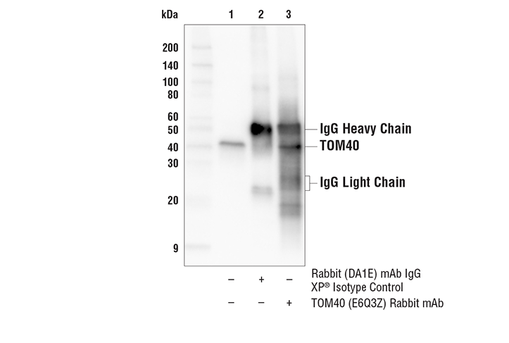 Immunoprecipitation Image 1: TOM40 (E6Q3Z) Rabbit mAb