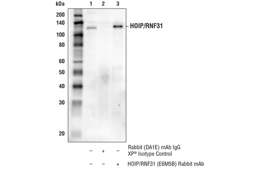 Immunoprecipitation of HOIP/RNF31 from HeLa cell extracts. Lane 1 is 10% input, lane 2 is Rabbit (DA1E) mAb IgG XP<sup>®</sup> Isotype Control #3900, and lane 3 is HOIP/RNF31 (E6M5B) Rabbit mAb. Western blot analysis was performed using HOIP/RNF31 (E6M5B) Rabbit mAb. Mouse Anti-rabbit IgG (Conformation Specific) (L27A9) mAb (HRP Conjugate) #5127 was used for detection to avoid cross-reactivity with IgG.