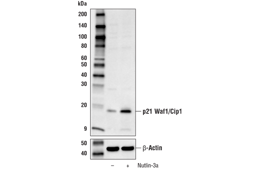 Western Blotting Image 1: p21 Waf1/Cip1 Antibody (Mouse Preferred)