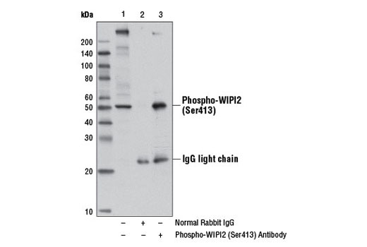 Immunoprecipitation of phospho-WIPI2 (Ser413) from KARPAS-299 cells treated with TPA #4174 (200 nM, 30 min) using Normal Rabbit IgG #2729 (lane 2) or Phospho-WIPI2 (Ser413) Antibody (lane 3). Lane 1 represents 10% input. Western blot was perform using Phospho-WIPI2 (Ser413) Antibody. Mouse Anti-rabbit IgG (Light-Chain Specific) (L57A3) mAb #3677 was used as a secondary antibody.