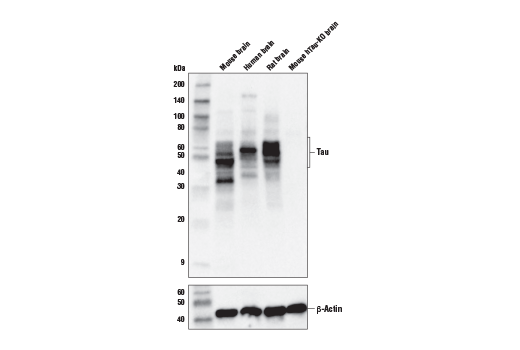 Western blot analysis of extracts from various mouse, human, and rat brain tissues using Tau 4R Antibody (upper), or β-Actin (D6A8) Rabbit mAb #8457 (lower). Mouse hTau-KO mouse brain tissue was kindly provided by Dr. Dominic Walsh at Brigham and Women's Hospital and Harvard Medical School.