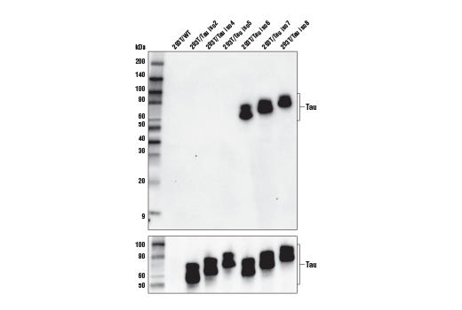 Polyclonal Antibody Western Blotting Tau iso8