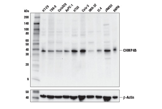 Western blot analysis of extracts from various cell lines using CHMP4B Antibody (upper) or β-Actin (D6A8) Rabbit mAb #8457 (lower).