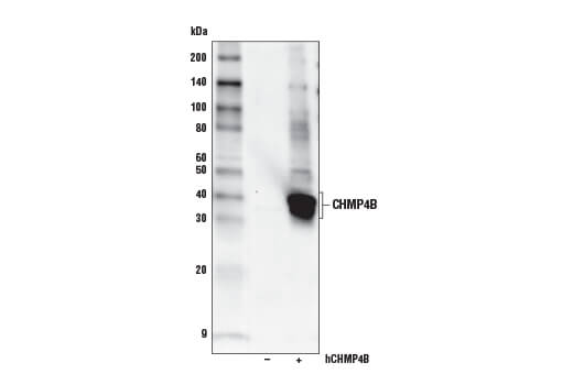 Western blot analysis of extracts from 293T cells, mock transfected (-) or transfected with a construct expressing full-length human CHMP4B (hCHMP4B; +), using CHMP4B Antibody.