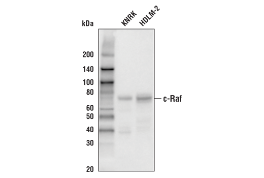Western blot analysis of extracts from KNRK and HDLM-2 cells using c-Raf (D4B3J) Rabbit mAb (Biotinylated).