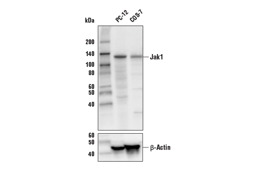 Western blot analysis of extracts from PC-12 and COS-7 cells using Jak1 (6G4) Rabbit mAb (Biotinylated) (upper) and β-Actin (D6A8) Rabbit mAb #8457 (lower).