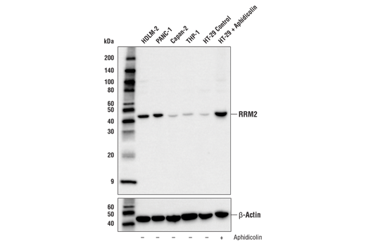 Western blot analysis of extracts from various cell lines using RRM2 (E7Y9J) XP<sup>®</sup> Rabbit mAb (upper) or β-Actin (D6A8) Rabbit mAb #8457 (lower). In lanes 5 and 6, HT-29 cells were treated with vehicle control (-) or Aphidicolin (10 μg/mL, 24 hr; +), showing enrichment of RRM2 expression at the G1/S phase border.