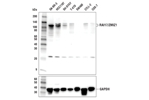 Western blot analysis of extracts from various cell lines using RAI17/ZMIZ1 (E2X3X) Rabbit mAb (upper) and GAPDH (D16H11) XP<sup>®</sup>Rabbit mAb#5174 (lower).