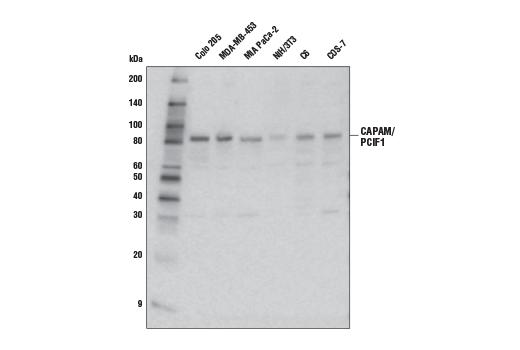 Polyclonal Antibody - CAPAM/PCIF1 Antibody - Western Blotting, UniProt ID Q9H4Z3, Entrez ID 63935 #98085 - Translational Control
