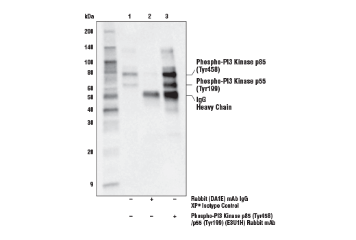 Immunoprecipitation of Phospho-PI3 Kinase p85 (Tyr458)/p55 (Tyr199) from NIH/3T3-Src cell extracts. Lane 1 is 10% input, lane 2 is Rabbit (DA1E) mAb IgG XP<sup>®</sup> Isotype Control #3900, and lane 3 is Phospho-PI3 Kinase p85 (Tyr458)/p55 (Tyr199) (E3U1H) Rabbit mAb. Western blot analysis was performed using Phospho-PI3 Kinase p85 (Tyr458)/p55 (Tyr199) (E3U1H) Rabbit mAb.