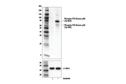 Western blot analysis of extracts from NIH/3T3-Src cells, untreated (-) or treated with Dasatinib #9052 (200 nM, 24 hr; +), using Phospho-PI3 Kinase p85 (Tyr458)/p55 (Tyr199) (E3U1H) Rabbit mAb (upper), or β-Actin (D6A8) Rabbit mAb #8457 (lower).