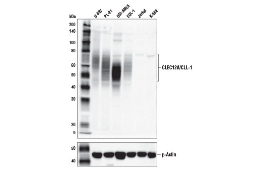 Western Blotting Image 1: CLEC12A/CLL-1 (E8A3Z) Rabbit mAb