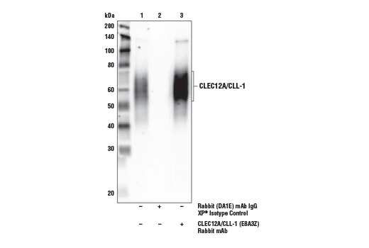 Immunoprecipitation Image 1: CLEC12A/CLL-1 (E8A3Z) Rabbit mAb