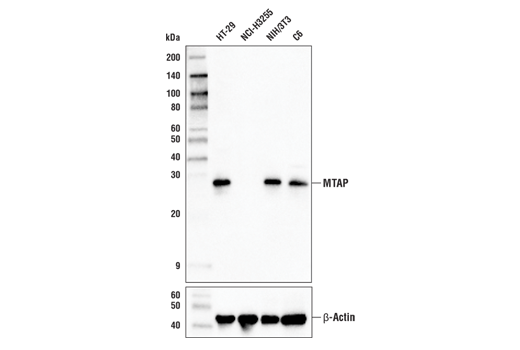 Western blot analysis of extracts from various cell lines using MTAP (A8N9F) Rabbit mAb (upper) and β-Actin (D6A8) Rabbit mAb #8457 (lower).