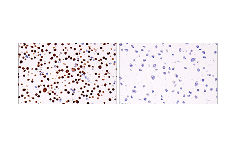 Immunohistochemical analysis of paraffin-embedded Jurkat cell pellet (left, positive) or RL-7 cell pellet (right, negative) using Helios (E4L5U) Rabbit mAb.
