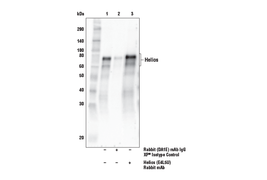 Immunoprecipitation of Helios from Jurkat cell extracts. Lane 1 is 10% input, lane 2 is Rabbit (DA1E) mAb IgG XP<sup>® </sup>Isotype Control #3900, and lane 3 is Helios (E4L5U) Rabbit mAb. Western blot analysis was performed using Helios (E4L5U) Rabbit mAb. Mouse Anti-rabbit IgG (Conformation Specific) (L27A9) mAb (HRP Conjugate) #5127 was used for detection to avoid cross-reactivity with IgG.