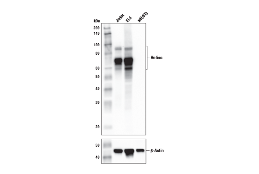 Western blot analysis of extracts from Jurkat, EL4, and NIH/3T3 cells using Helios (E4L5U) Rabbit mAb (upper) or β-Actin (D6A8) Rabbit mAb #8457 (lower). As expected, Helios protein is not detected in NIH/3T3 cells.