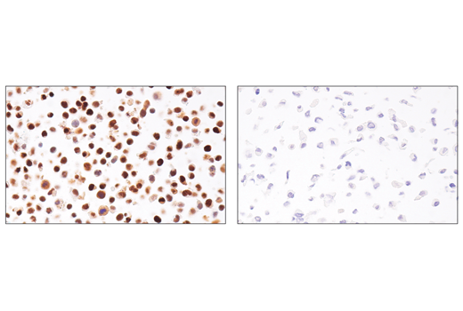 Monoclonal Antibody Ihc-Leica® bond™ Dna Damage Response - count 5
