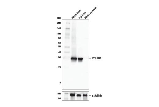 Polyclonal Antibody - SYNGR1 Antibody - Western Blotting, UniProt ID O43759, Entrez ID 9145 #20874