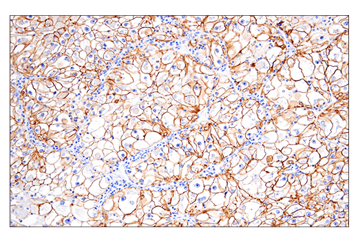 Image 25: Human Immune Cell Phenotyping IHC Antibody Sampler Kit