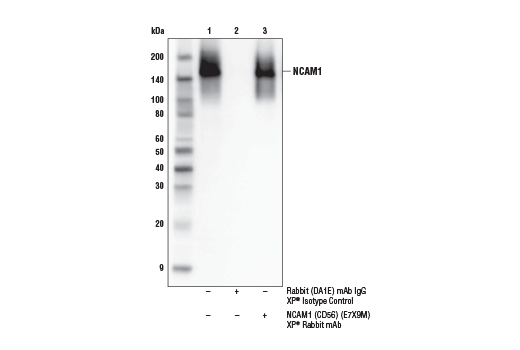 Immunoprecipitation Image 1: NCAM1 (CD56) (E7X9M) XP® Rabbit mAb