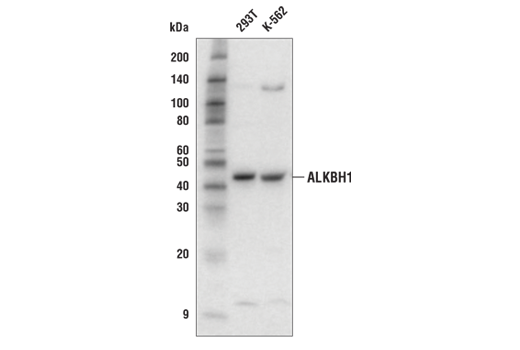 Western blot analysis of extracts from 293T and K-562 cells using ALKBH1 Antibody.