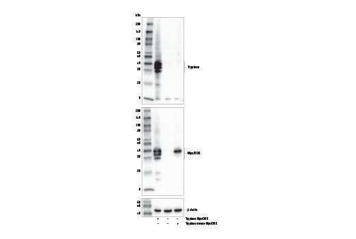 Monoclonal Antibody - Tryptase (E5F3Q) Rabbit mAb - Western Blotting, UniProt ID Q15661, Entrez ID 7177 #92215, Innate Immunity