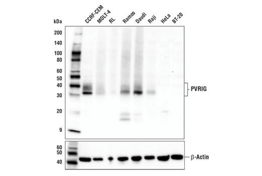 Monoclonal Antibody - PVRIG (E9X9B) Rabbit mAb - Immunoprecipitation, Western Blotting, UniProt ID Q6DKI7, Entrez ID 79037 #29599, Pvrig