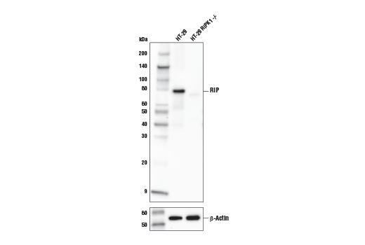 Western blot analysis of extracts from HT-29 and HT-29 RIPK1 knockout (-/-) cells using RIP (E8S7U) XP<sup>® </sup>Rabbit mAb (upper) or β-Actin (D6A8) Rabbit mAb #8457 (lower). HT-29 RIPK1 knockout cells were kindly provided by Dr. Junying Juan, Harvard Medical School, Boston, MA.