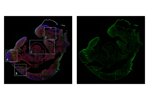 Confocal immunofluorescent tile scan of an E11.5 mouse embryo using TWIST1 (E7E2G) Rabbit mAb (IF Formulated) (green). Actin filaments were labeled with DyLight™ 554 Phalloidin #13054 (red). Sample was mounted in ProLong<sup>®</sup> Gold Antifade Reagent with DAPI #8961 (blue). Insets A – D are shown at higher resolution in subsequent figures.