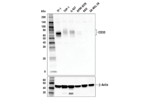 Western blot analysis of extracts from various cell lines using CD33 Antibody (upper) or β-Actin (D6A8) Rabbit mAb #8457 (lower).