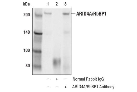 Polyclonal Antibody - ARID4A/RbBP1 Antibody - Immunoprecipitation, Western Blotting, UniProt ID P29374, Entrez ID 5926 #97780