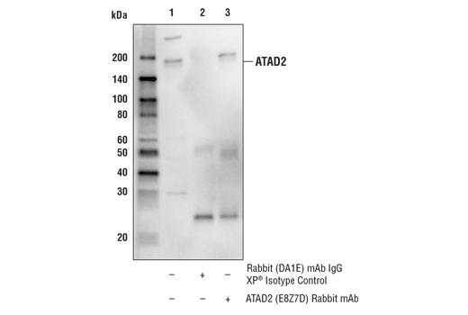 Monoclonal Antibody - ATAD2 (E8Z7D) Rabbit mAb - Immunoprecipitation, Western Blotting, UniProt ID Q6PL18, Entrez ID 29028 #62079