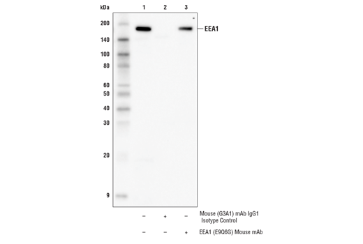 Immunoprecipitation of EEA1 protein from T-47D cell extracts. Lane 1 is 10% input, lane 2 is Mouse (G3A1) mAb IgG1 Isotype Control #5415, and lane 3 is EEA1 (E9Q6G) Mouse mAb. Western blot analysis was performed using EEA1 (C45B10) Rabbit mAb #3288.