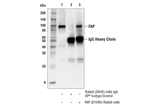 Immunoprecipitation of FAP protein from M14 cell extracts. Lane 1 is 10% input, lane 2 is Rabbit (DA1E) mAb IgG XP<sup>® </sup>Isotype Control #3900, and lane 3 is FAP (E1V9V) Rabbit mAb. Western blot analysis was performed using FAP (E1V9V) Rabbit mAb. Anti-rabbit IgG, HRP-linked Antibody #7074 was used as the secondary antibody.