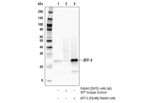 Immunoprecipitation of ATF-3 from 293T cell extracts. Lane 1 is 10% input, lane 2 is Rabbit (DA1E) mAb IgG XP<sup>®</sup> Isotype Control #3900, and lane 3 is ATF-3 (E9J4N) Rabbit mAb. Western blot analysis was performed using ATF-3 (E9J4N) Rabbit mAb. Mouse Anti-rabbit IgG (Conformation Specific) (L27A9) mAb (HRP Conjugate) #5127 was used as a secondary antibody.