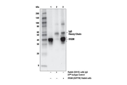 Monoclonal Antibody - IRGM (E6P7W) Rabbit mAb - Immunoprecipitation, Western Blotting, UniProt ID Q60766, Entrez ID 15944 #71950