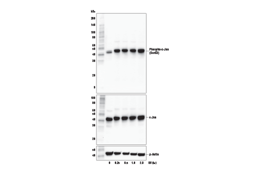 Western Blotting Image 2: Phospho-c-Jun (Ser63) (E6I7P) XP® Rabbit mAb