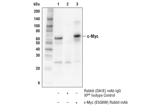 Immunoprecipitation Image 1: c-Myc (E5Q6W) Rabbit mAb