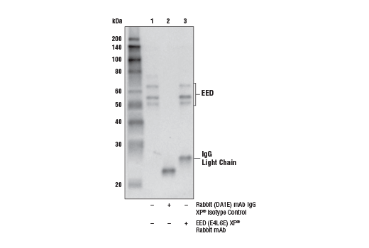 Immunoprecipitation of EED from TF-1 cell extracts. Lane 1 is 10% input, lane 2 is Rabbit (DA1E) mAb IgG XP<sup>®</sup> Isotype Control #3900, and lane 3 is EED (E4L6E) XP<sup>®</sup> Rabbit mAb. Western blot analysis was performed using EED (E4L6E) XP<sup>®</sup> Rabbit mAb. Mouse Anti-Rabbit IgG (Light-Chain Specific) (D4W3E) mAb (HRP Conjugate) #93702 was used as the secondary antibody.