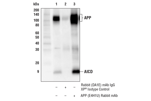 Immunoprecipitation Image 1: APP (E4H1U) Rabbit mAb