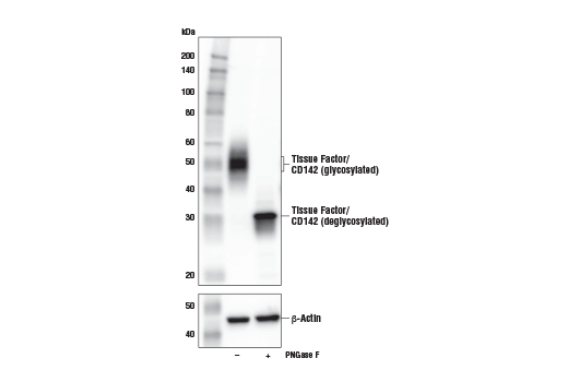 Western Blotting Image 2: Tissue Factor/CD142 (E2L3B) Rabbit mAb (Mouse Specific)