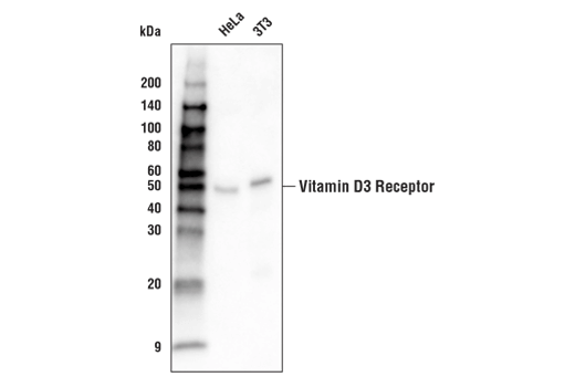 Western Blotting Image 1: Vitamin D3 Receptor (D2K6W) Rabbit mAb (Biotinylated)
