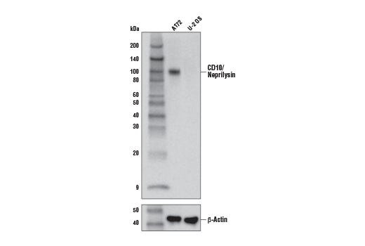 Western Blotting Image 1: CD10/Neprilysin (E9Z2W) Rabbit mAb
